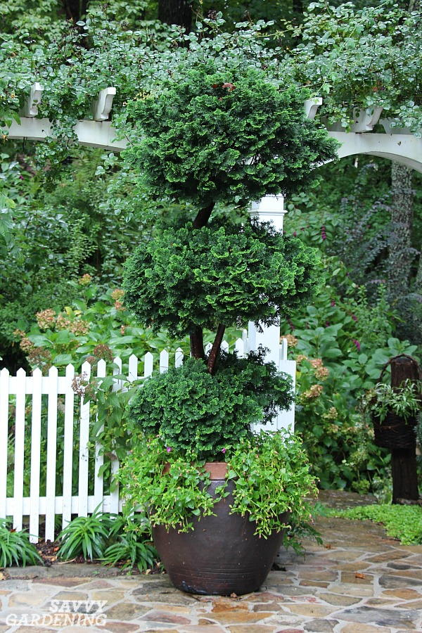 The best compact evergreen trees for the garden.