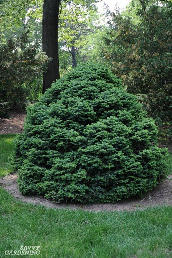 Picea omerica 'Nana'