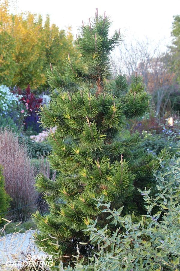 Pinus cembra 'Chalet'