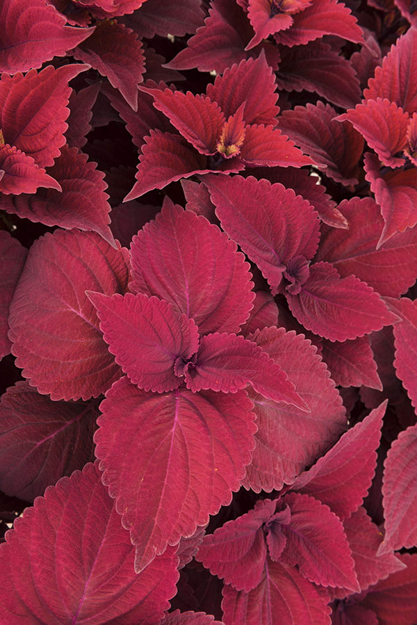 Coleus Main Street Beale Street has striking red foliage that won't fade throughout the summer.
