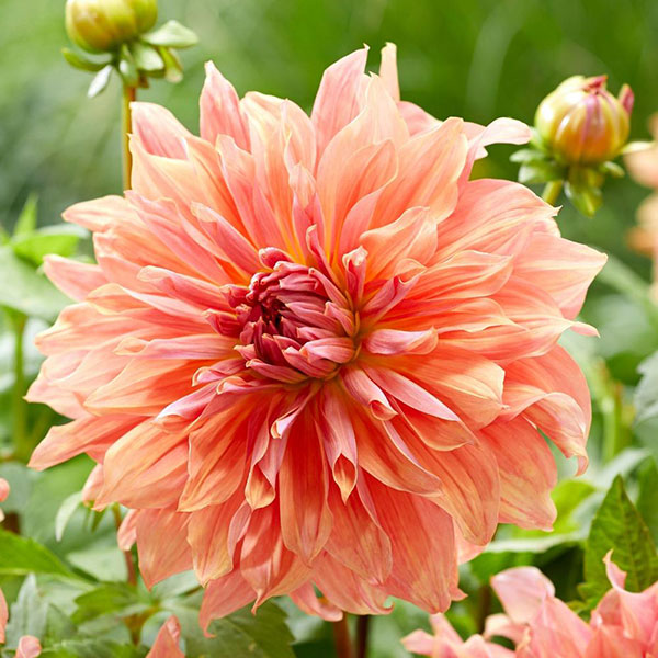 2019 is the Year of the Dahlia and coral is the Pantone colour of the year, so Dahlia Belle of Barmera checks both boxes and would make a stunning addition to your ornamental garden to boot!
