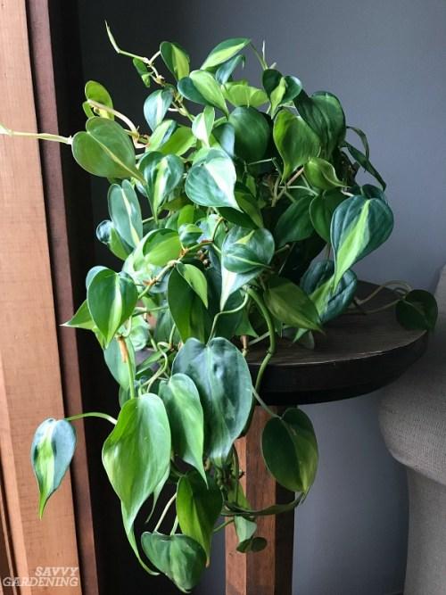 15 of the best indoor plants for small living spaces. #indoorgardening #houseplants