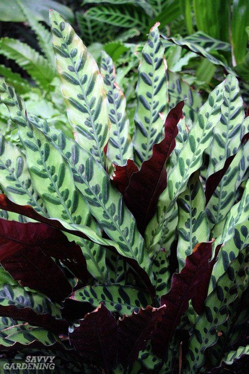 Rattlesnake plants are among the best houseplants for small spaces.