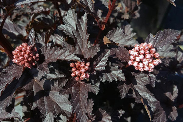 """The sleek foliage of this Panther ninebark is the reason it landed on our """"Hot new plants for 2019"""" list."""