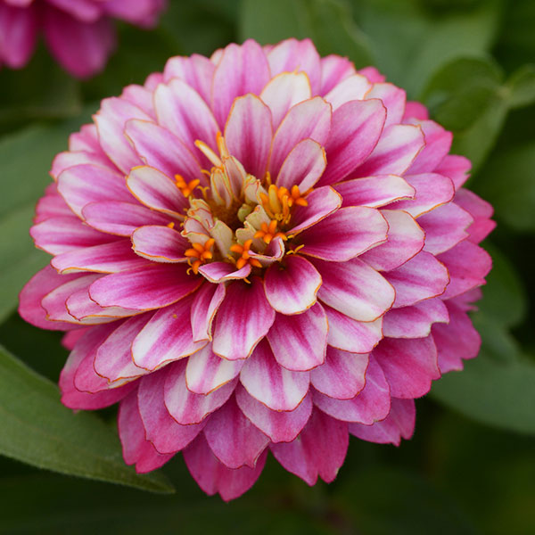UpTown Frosted Strawberry Zinnia is a new plant and a pollinator magnet