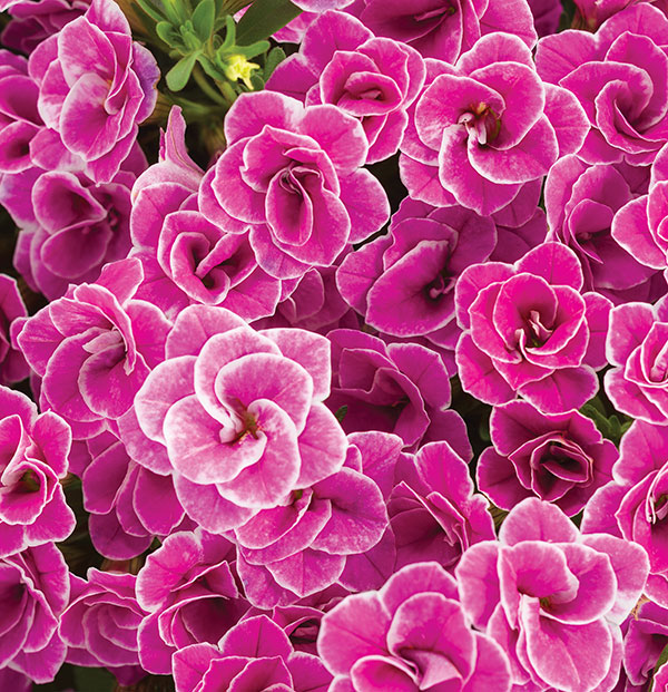 Look closely at the detail on the petals of this calibrachoa hybrid, Superbells Doublette Love Swept, from Proven Winners, a hot new plant for 2019