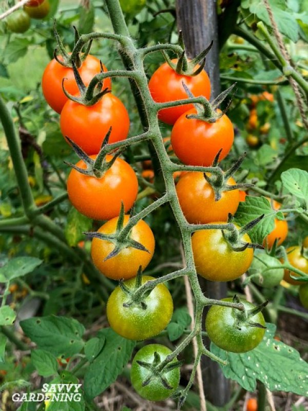 Love tomatoes? Try growing cherry tomatoes which are early to crop and easy to grow.