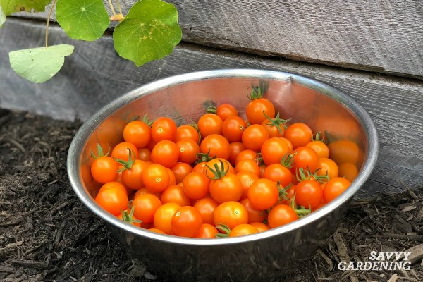 It's easy to grow your own tomatoes from seed.