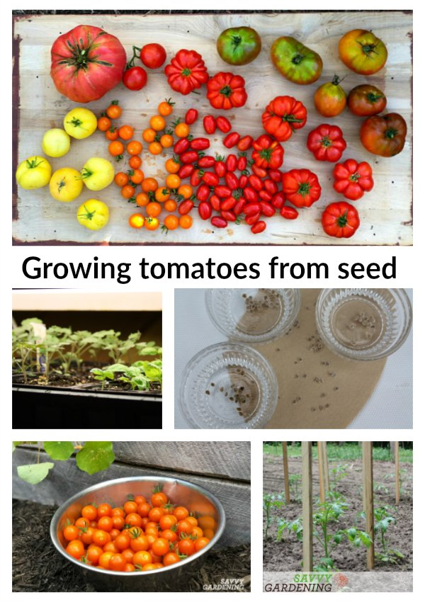 Growing tomatoes from seed is the BEST way to enjoy the thousands of varieties available through seed catalogs. Learn how to pick which tomatoes to grow for your garden and how to grow healthy seedlings.