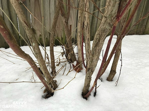 Blueberry pruning: step-by-step instructions.