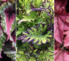Superstar foliage plants for sun and shade