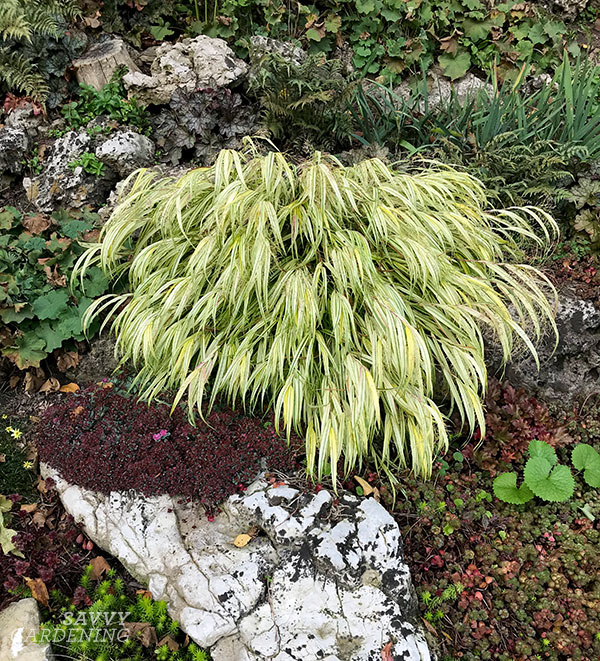 Japanese forest grass provides a lovely cascade of colour in the landscape.