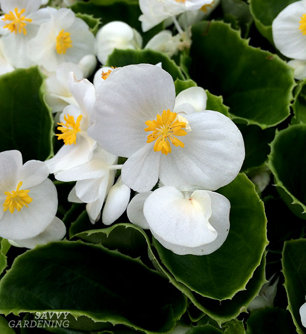This Super Olympia White begonia from Benary would glow in a shade garden!