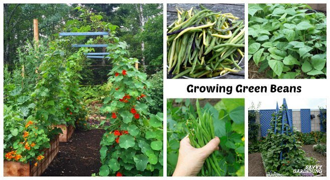 Growing Green Beans In Garden Beds And Containers