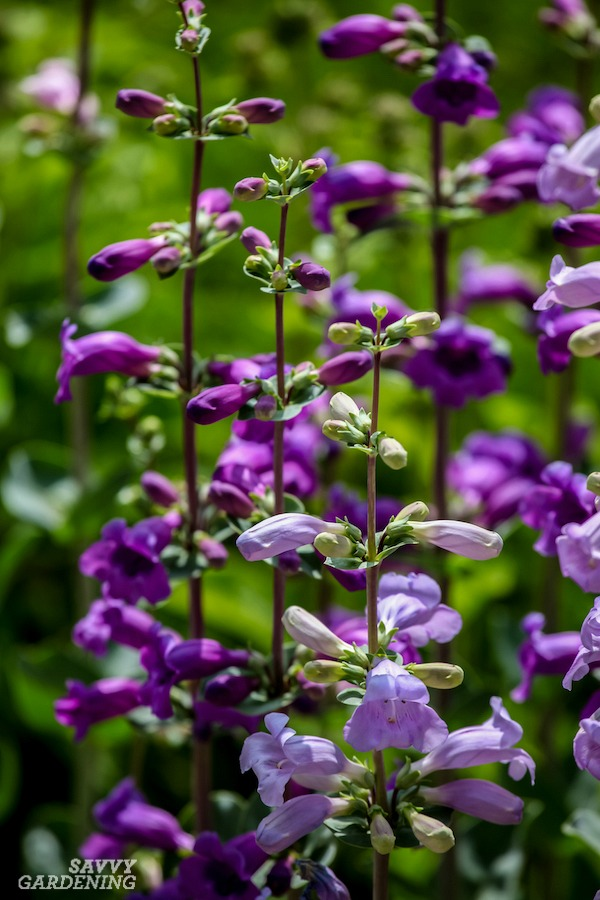 Pollinator-friendly purple perennials with long bloom times.