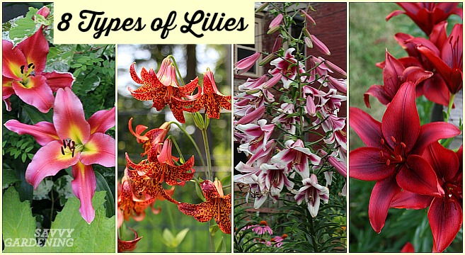 Asiatic lilies are among many great types of lilies for the garden.