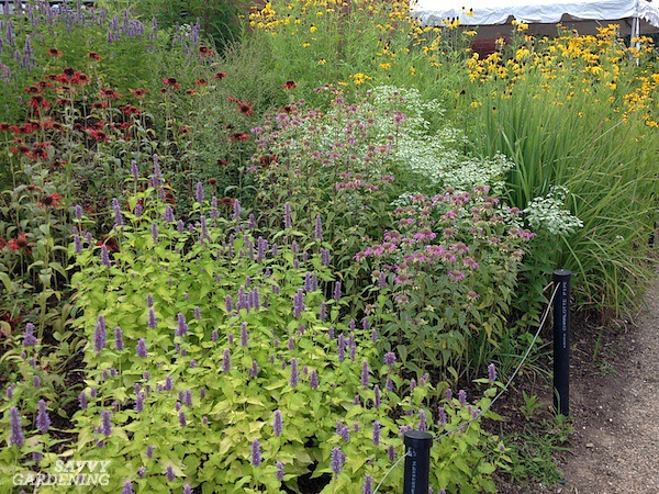 Deer-resistant purple perennials