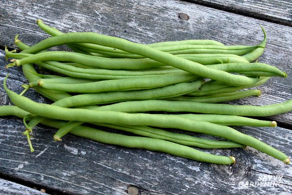 Pick green beans often to encourage heavy pod production.