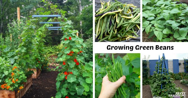 Growing green beans: learn how to plant, grow, and harvest a bumper crop of green beans