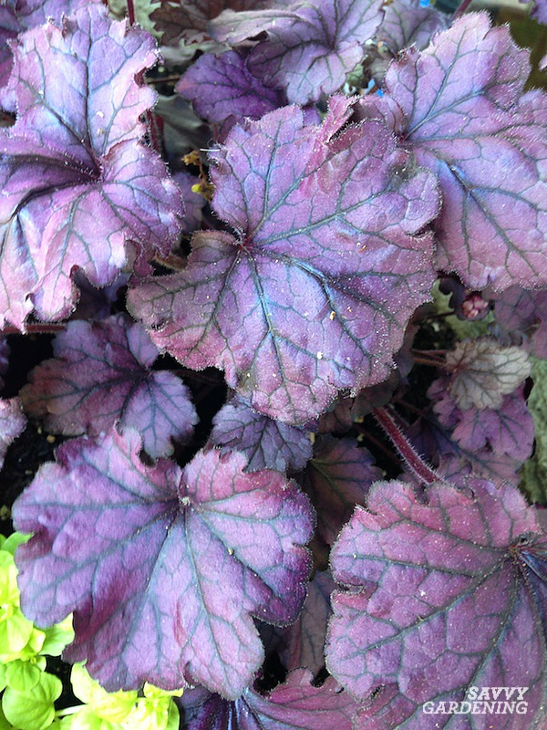 Heucheras add a pop of purple to the garden. Meet 24 more plants that do the same.