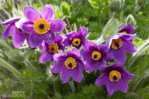 Purple perennial plants for spring, summer, and fall.