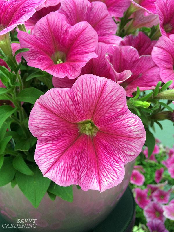 SUCCESS! Pink Vein Petunia