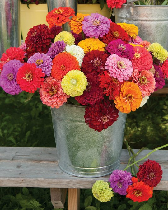 Zinnias are one of the easiest cut flowers to grow.