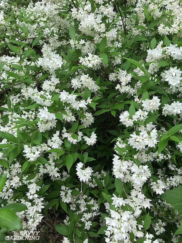 Flowering Shrubs For Shade Top Picks For The Yard Garden