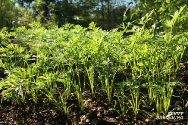 Thinning carrots should be done in early summer.