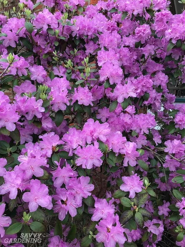 PJM rhododendrons are terrific shrub choices for the shade.