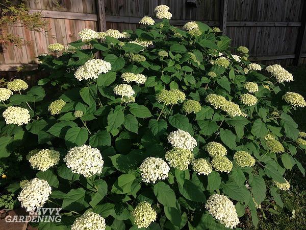 The best hydrangeas for shade gardens