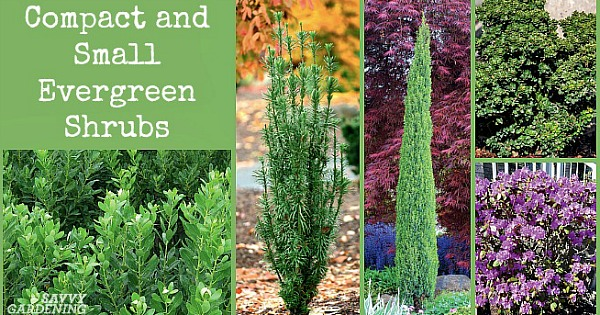 Small Evergreen Shrubs For Year Round Interest In Yards And Gardens
