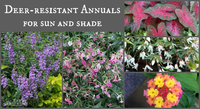 Deer Resistant Annuals Colorful Choices For Sun And Shade