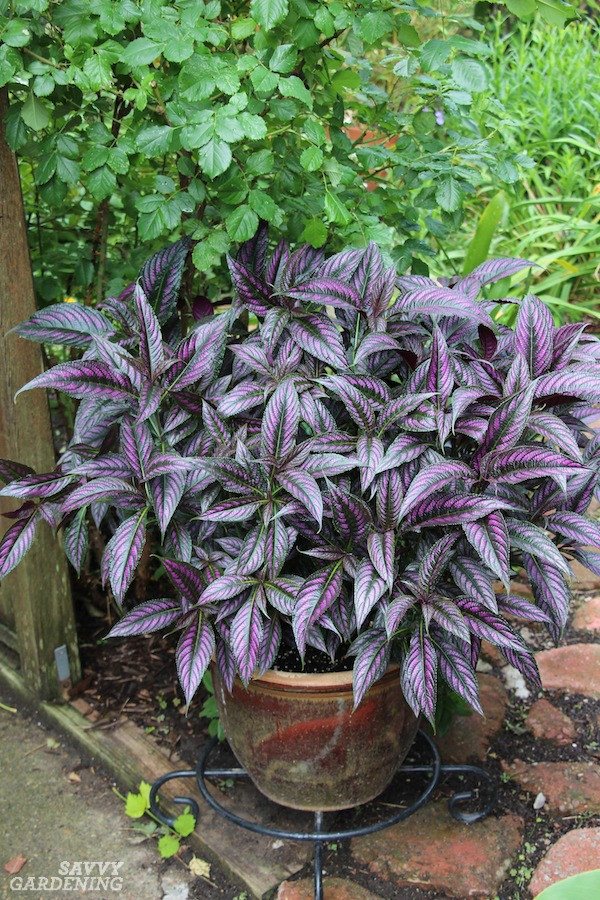 Persian shield is one of many annuals with deer resistance.