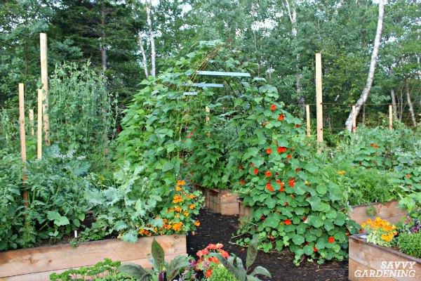 Pole beans can be grown on trellises, tunnels, and teepees.