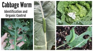 Proper identification and organic control of imported cabbage worms