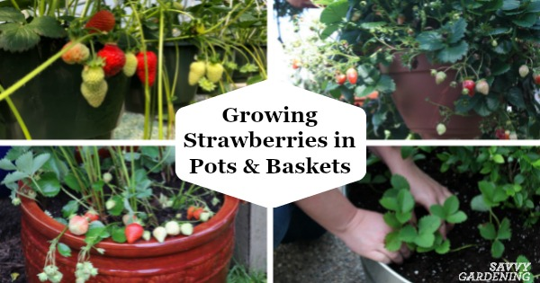 Growing Strawberries In Pots And Baskets How To Plant Grow Winterize