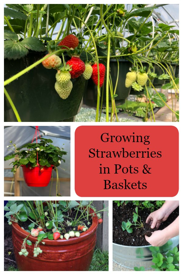 Learn how to grow strawberries in pots and baskets.