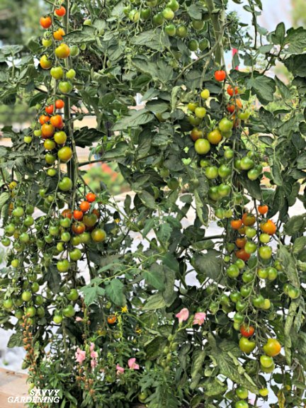 Stake tomatoes to encourage healthy plants.