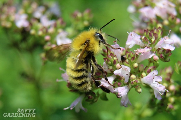Types of pollinators common to yards include a diversity of bumble bees.