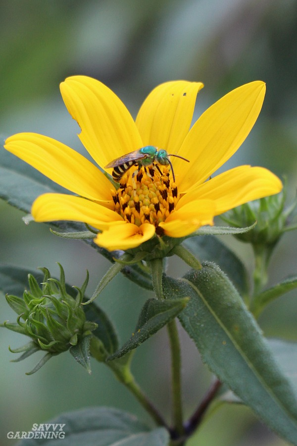 One common type of North American bee is the striped green metallic sweat bee.