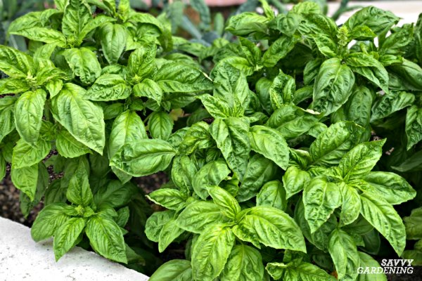 Sweet basil is the widest grown type of basil.