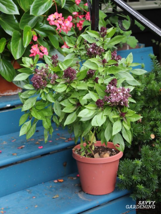 Learn the many different basils you can grow in your garden.