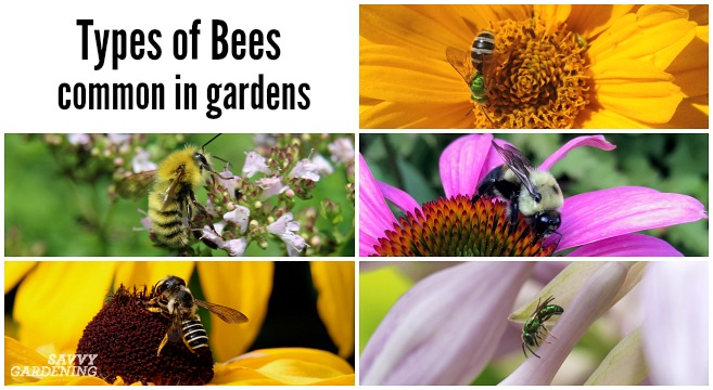 Types of bees commonly found in yards and gardens
