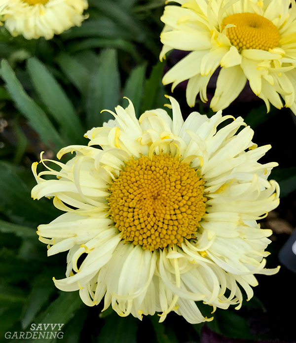 I love the frilly petals and delicate hue of 'Goldfinch' Shasta Daisy.