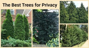 Border trees for small yards
