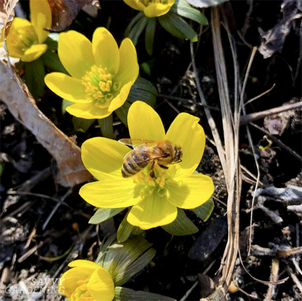 Winter aconite is an early source of nectar for bees in the spring.