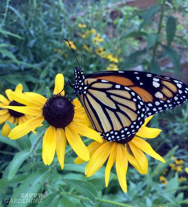 Black-eyed Susans are yellow perennial flowers that attract butterflies and bees, and will continue to bloom well into late summer/early fall.