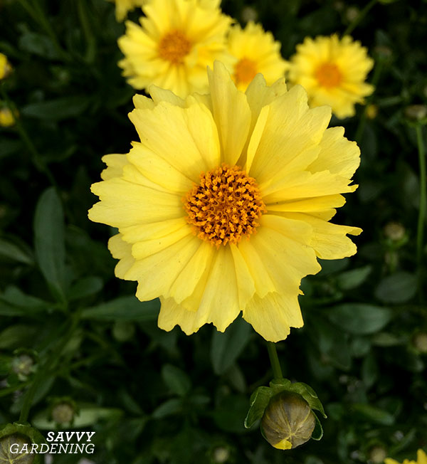 Coreopsis Solar Dance has petals with pretty scalloped edges.