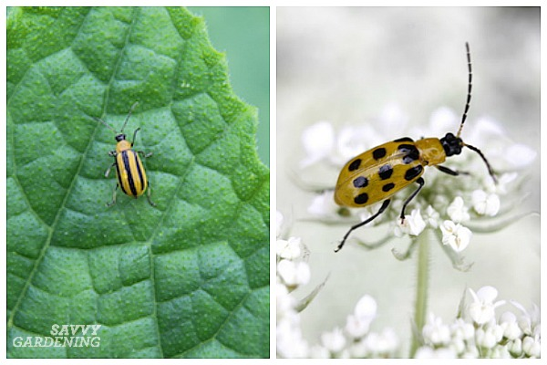 Both striped and spotted cucumber beetles attack plants.